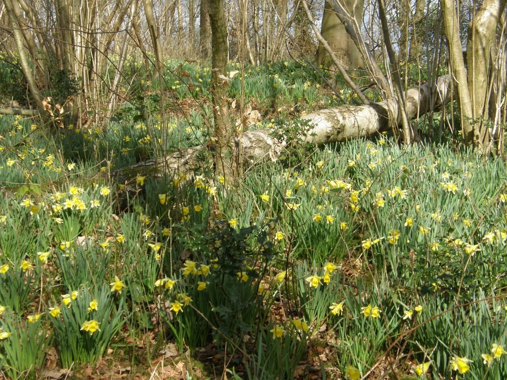 local spring daffodils