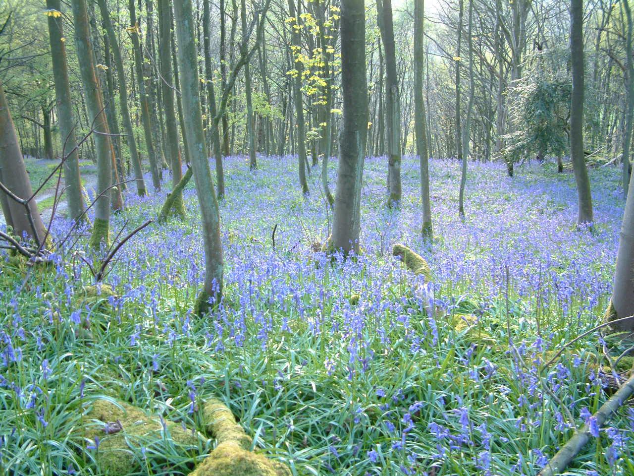 Bluebells in Brigsteer Woods